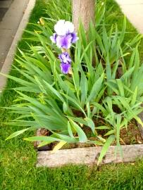 bearded iris***