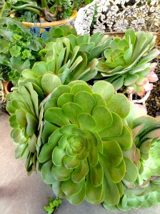 Succulents for sale at Alameda Flea Market