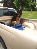 dog in truck***