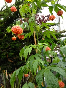 Chinese Paper Lantern Plant for sale at Moss Landing Antique Faire