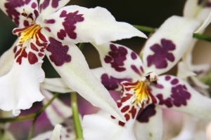 orchid:white