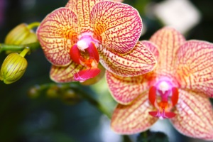 stripe orchid