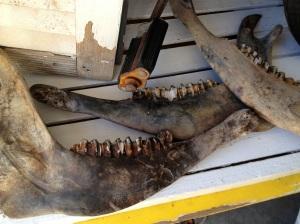Longhorn Steer Jawbones