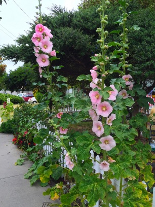 coastal/hollyhock